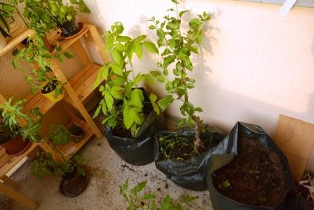 Balkon Heidelbeeren, Apfel und Kartoffeln