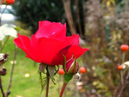 letzte Rose P1010125
