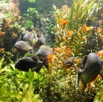 Landesmuseum Piranhas P1010529