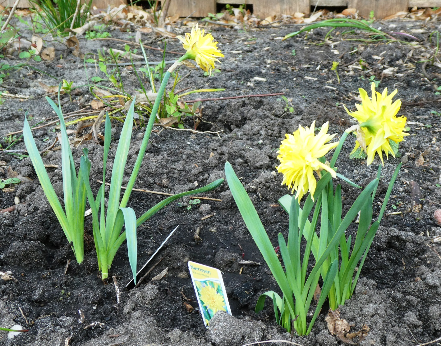 Gartenerkenntnisse Narzisse P1020274