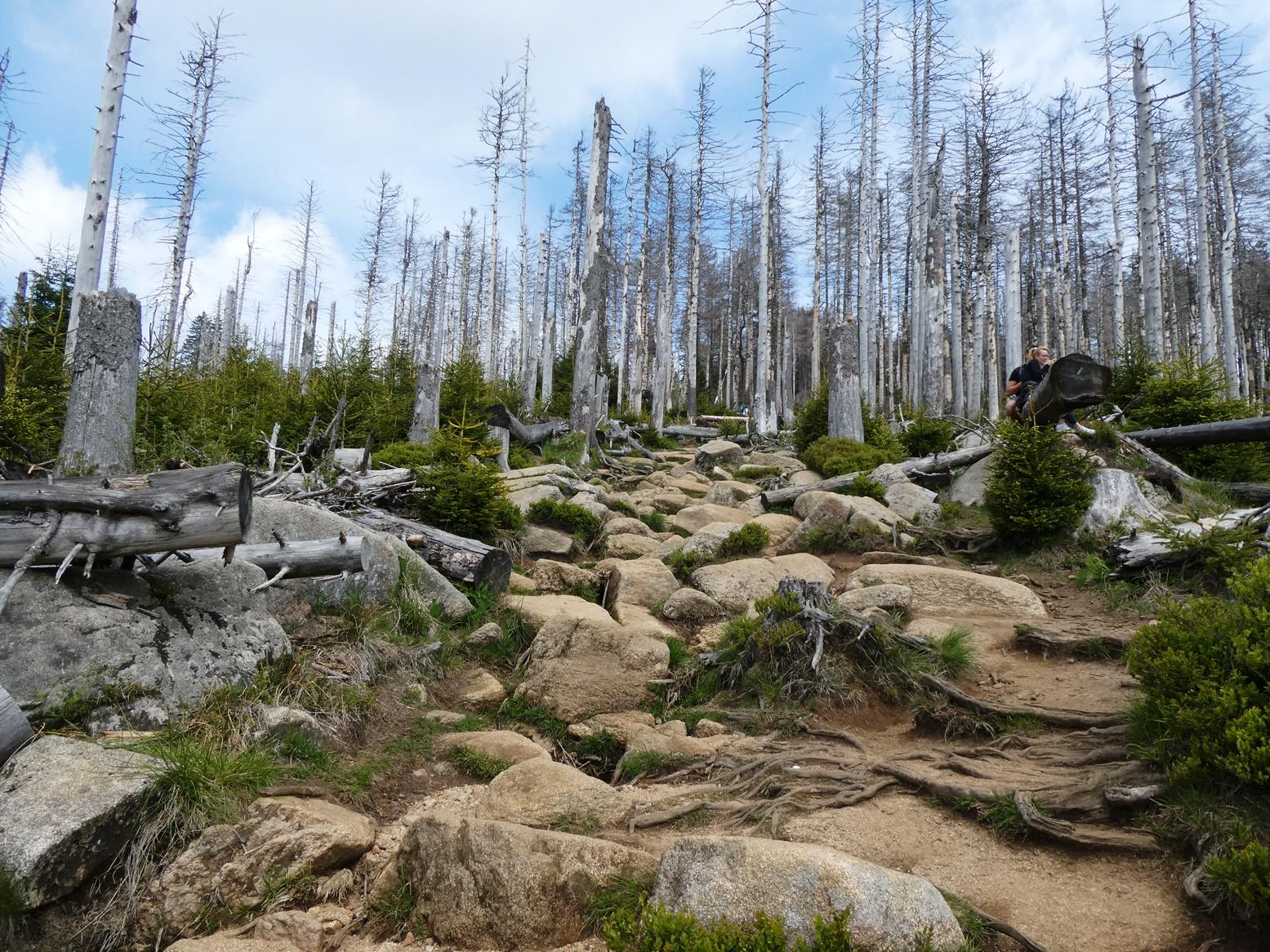Brocken tote Bäume P1020675