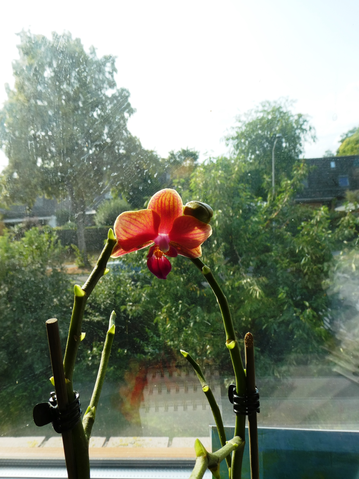 Blög Orchidee P1030018